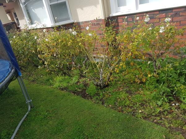 Pruning roses in Floreat (BEFORE)