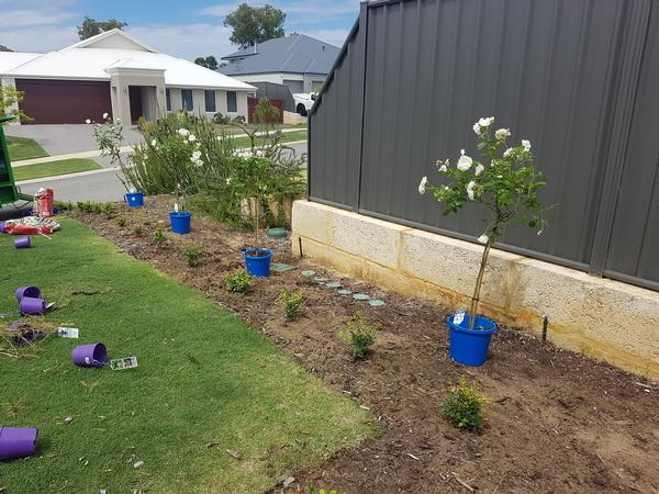 Roses ready and in place to planted before the mulch is layed in Banksia grove