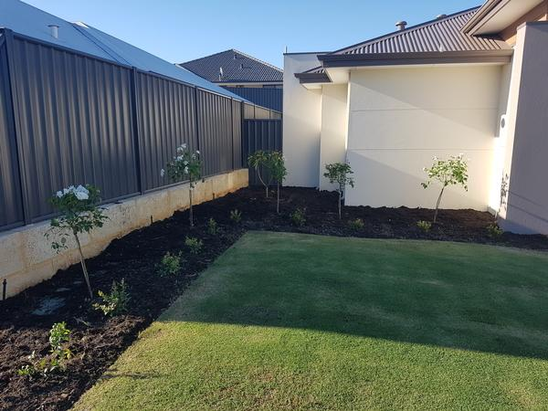 A fruit twist frangipani has been planted at the back where it can grow and give a beautiful frangrance around the garden in Banksia Grove