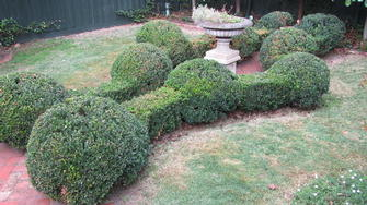 English box hedge shaping in Toorak - Something a little different I did on this property.