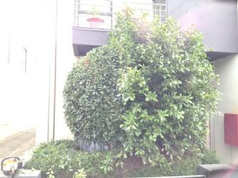Hedge shaping in Port Melbourne - Can you pick the side of this tree in Port Melb that has had the VIP Treatment...?