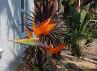 Splash of Colour - Normal size Bird of Paradise in flower has some beautiful colours.